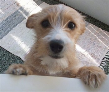 Yorkie Russell Yorkie Jack Russell Terrier Mix Dogs Breed Usa