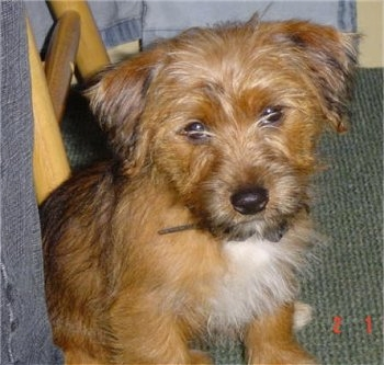 Yorkie-Russell-Dogs