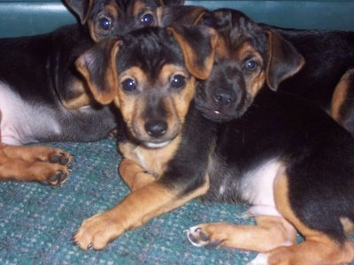 Yorkie-Russell-Puppies