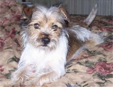 Yorkie-and-Jack-Russell-Mix