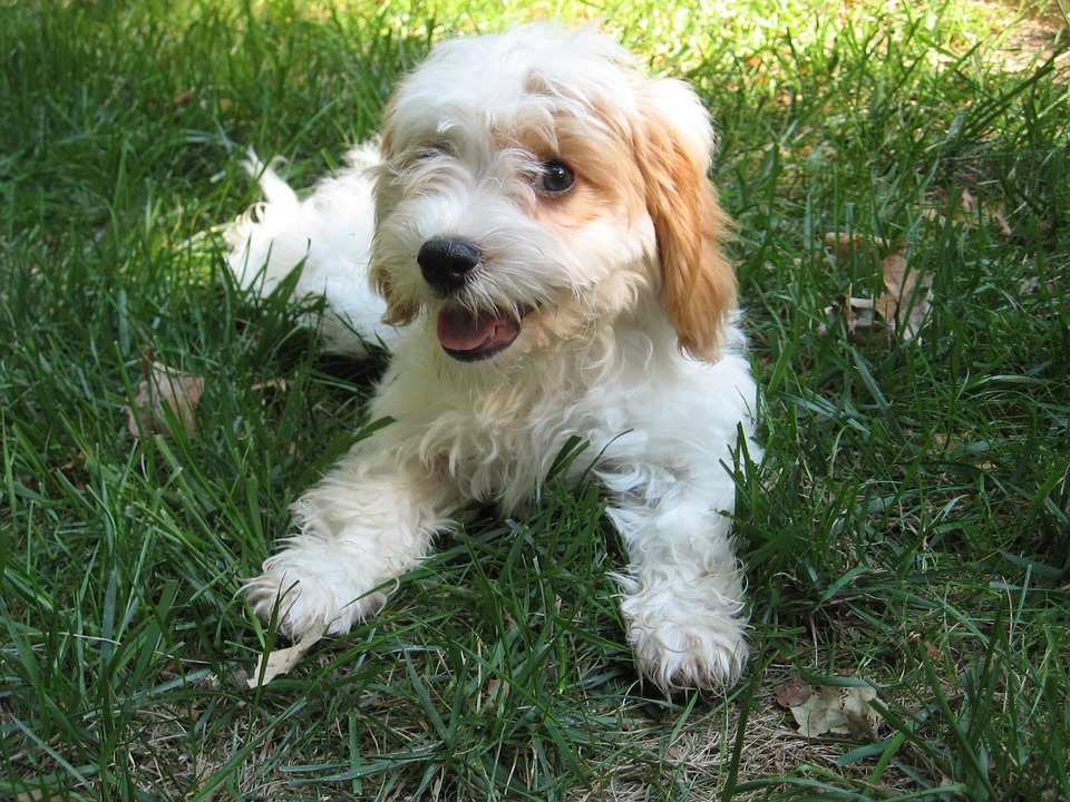 Cavapoo (Cavoodle) Breed Information and Pictures - Dogs