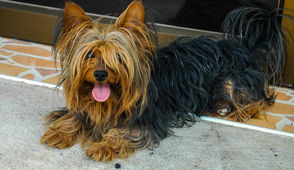 large yorkshire terrier