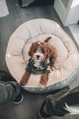 king charles cavalier and poodle mix