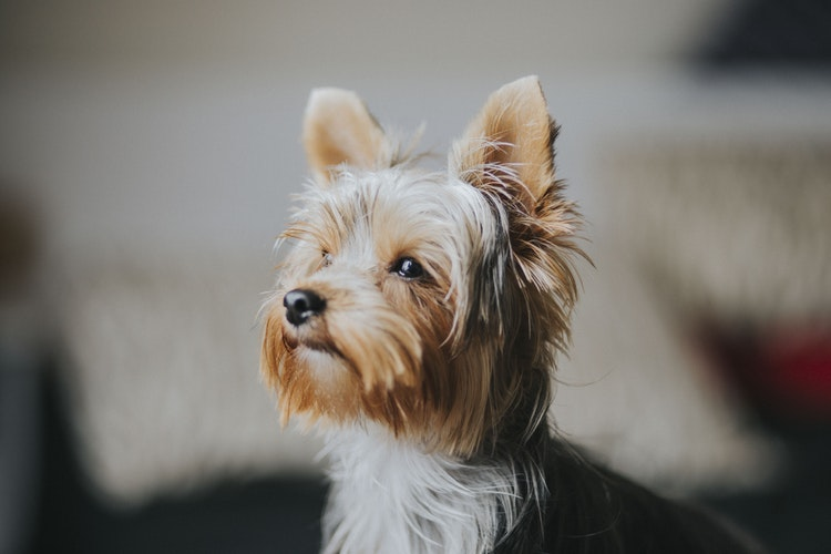 Yorkie Poo Dog Breed And Information Dogs Breed Usa