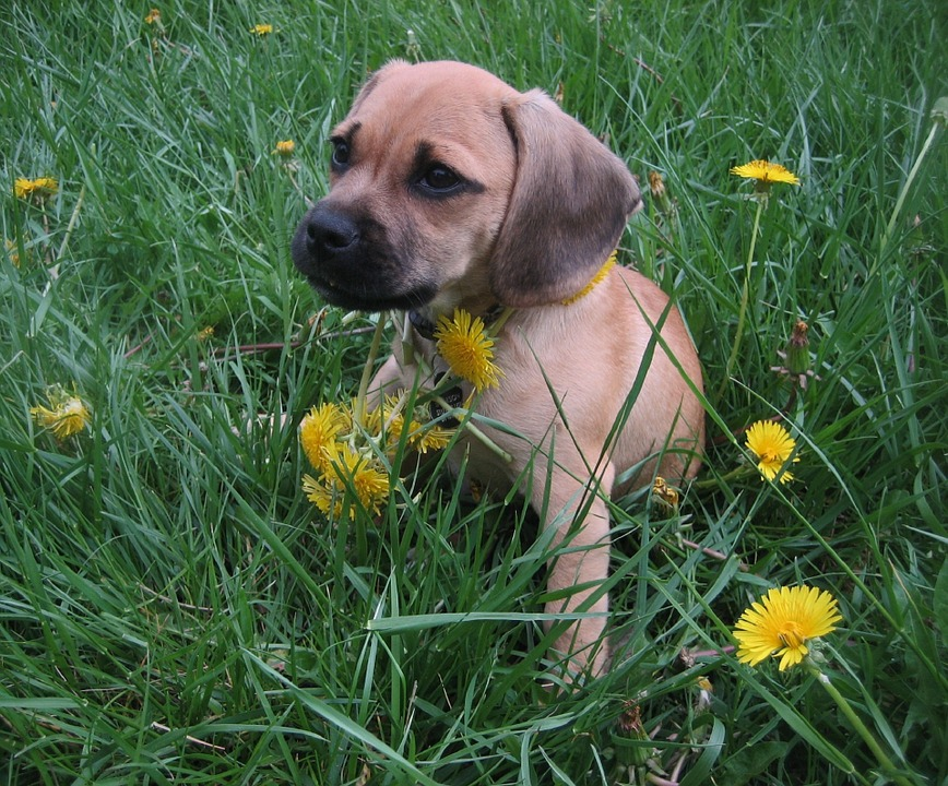 images of puggles