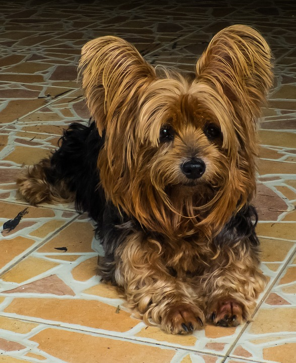 silky yorkshire terrier