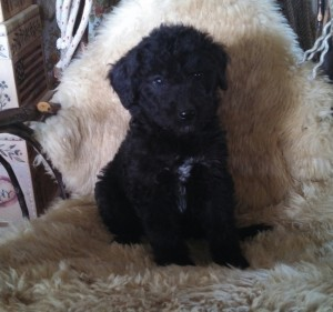 Shepadoodle-Puppy-Images