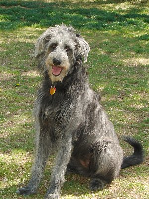Sheepadoodle Sheepdog Poodle Mix Information Dogs Breed Usa