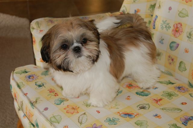 Chinese Imperial Dog Breed All Information Dogs Breed Usa