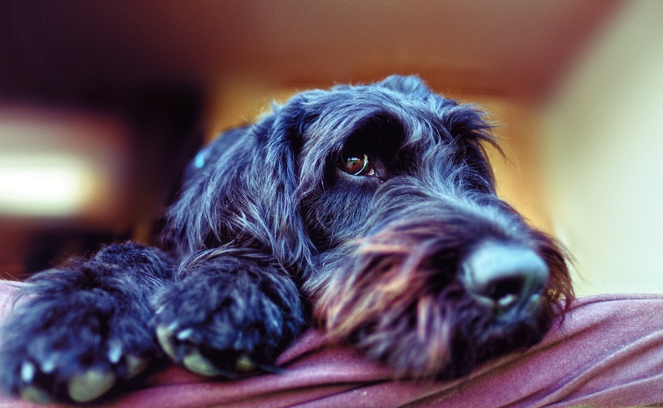 Labradoodle Dog Breed All Information And Pictures - Dogs