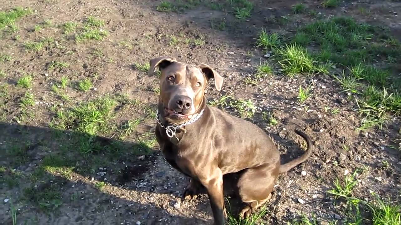 Canis Panther Dog Breed All Information And Pictures Dogs Breed Usa