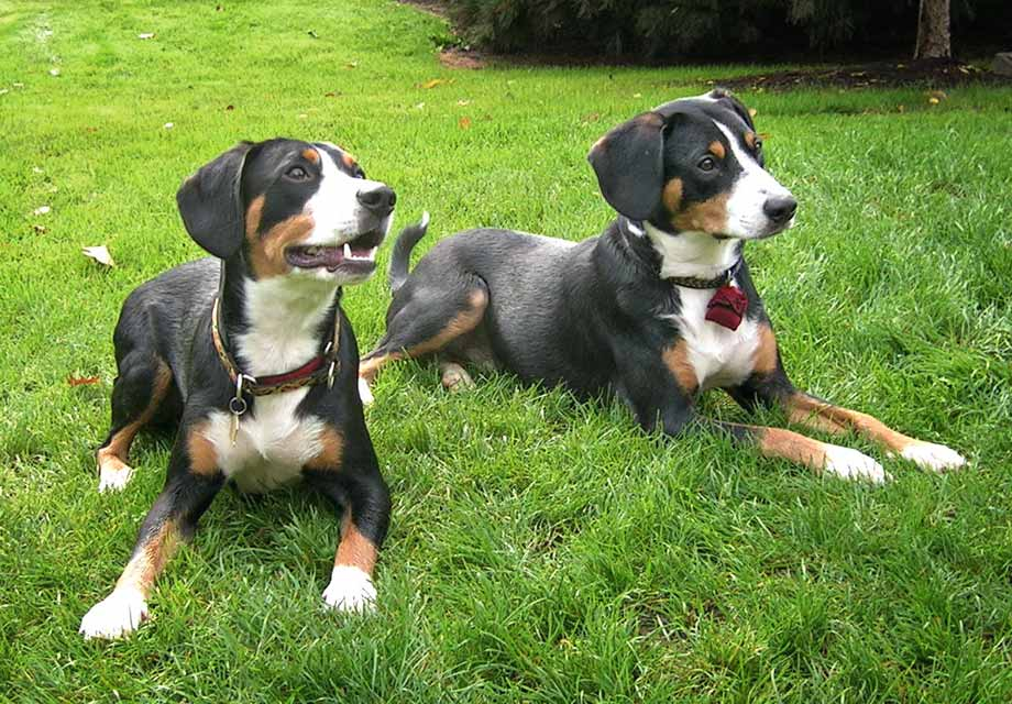 Entlebucher Mountain Dog Breed All Information Dogs Breed Usa